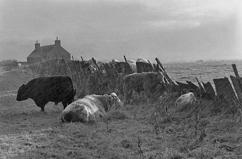 Sheltering Cattle, Caithness