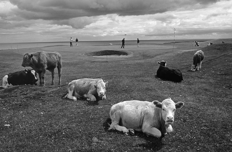 Brora Golf Club, Sutherland. Cows around green. Black and white