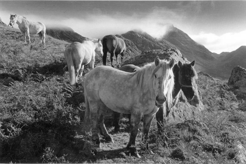 Five stalking ponies, Cairnmore Hill, Caithness. Black and white