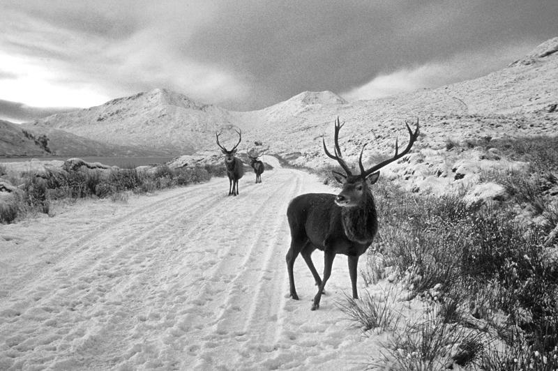 Wintering Stags, Kingie