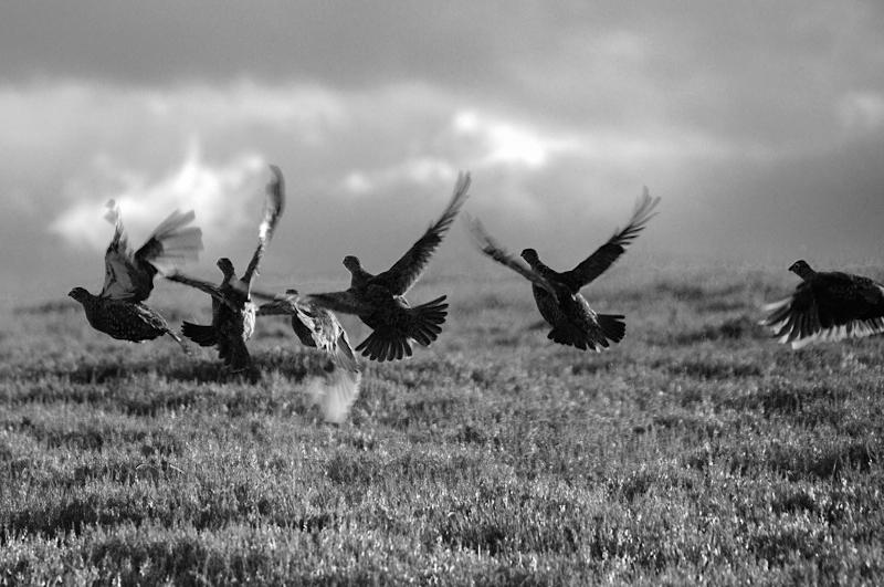 Grouse rising from the heather. Black and white