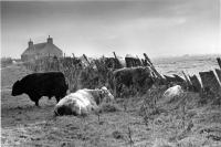 Cattle sheltering during squall against Caithness flagstone wall. Black and white