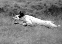 Setter dog leaping through the air. Black and white