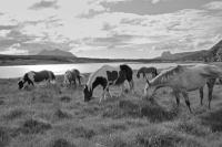 Assynt. Ponies Grazing by lochan. Suilven background. Black and white