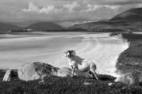 Luskentyre Beach, Harris, deserted with posing tup. Black and white